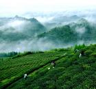 """""""好茶""""逐渐成为贵州茶的身份识别"""
