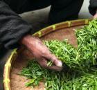 茶叶已成为贵州第一大出口农产品