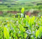 《贵州省茶产业发展条例(草案)》最新动态