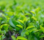 2021春茶季产销两旺,成绩亮眼。